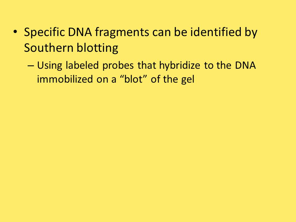 Specific DNA fragments can be identified by Southern blotting