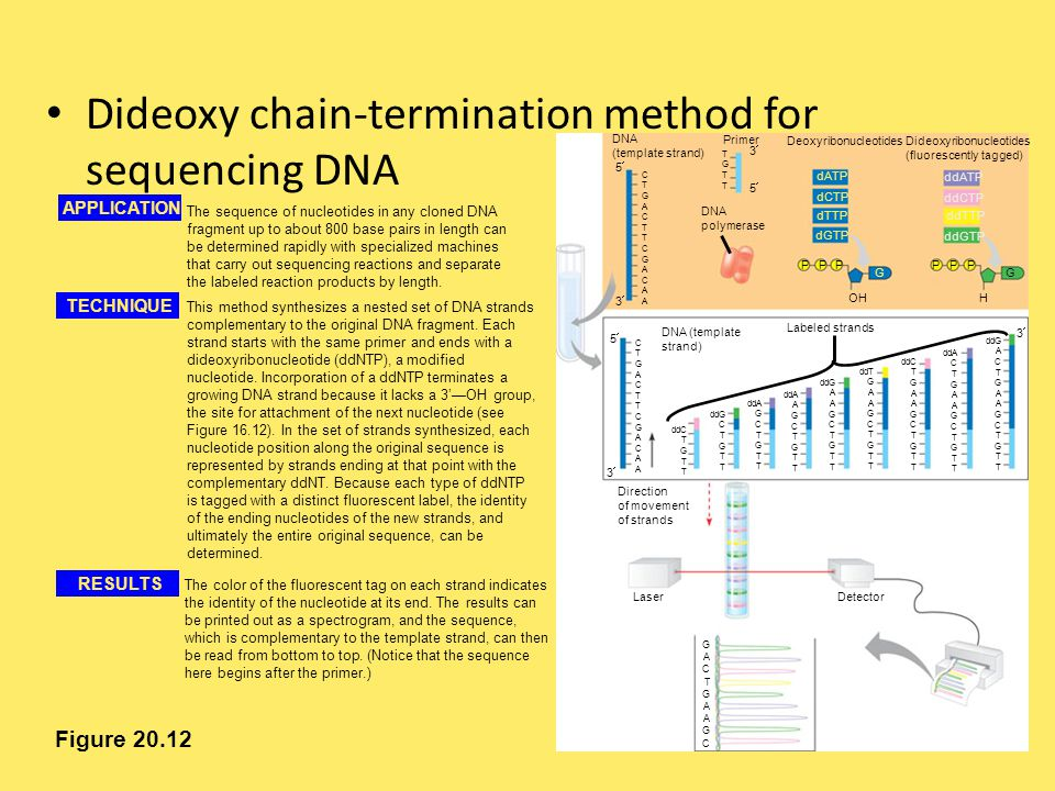 Dideoxy chain-termination method for sequencing DNA