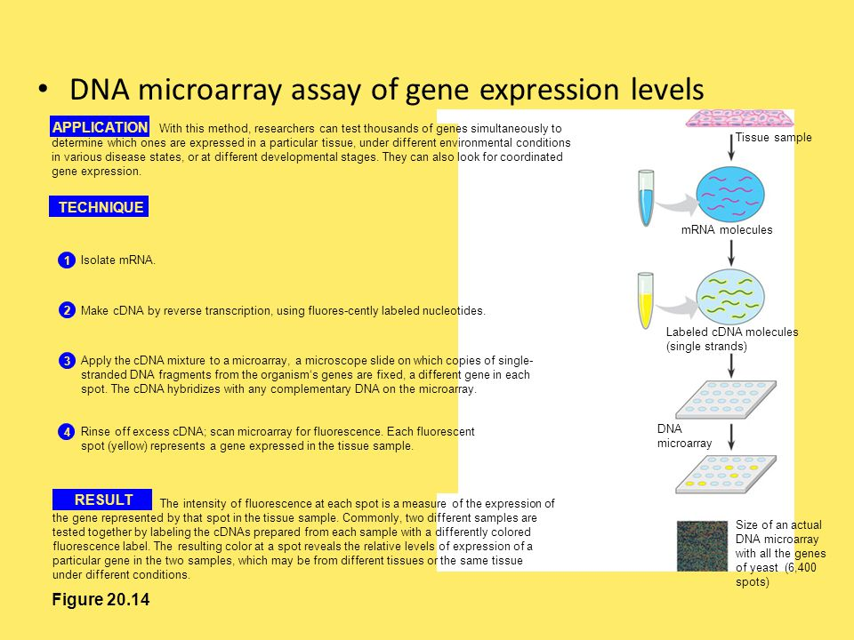 DNA microarray assay of gene expression levels