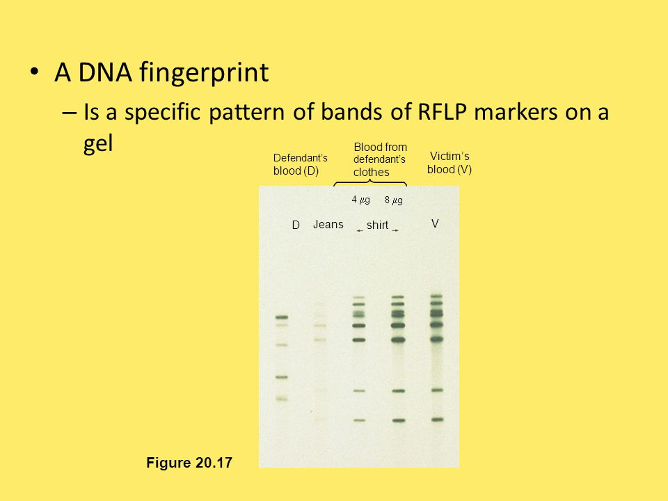 A DNA fingerprint Is a specific pattern of bands of RFLP markers on a gel. Defendant's. blood (D)