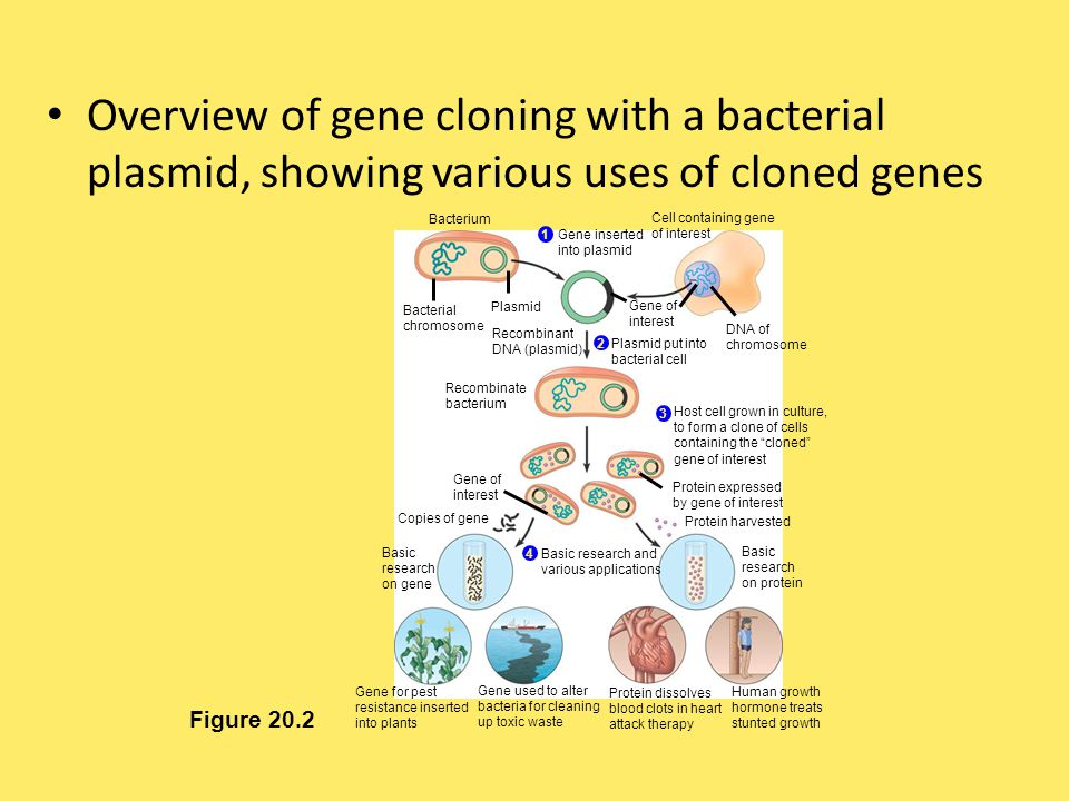 Overview of gene cloning with a bacterial plasmid, showing various uses of cloned genes