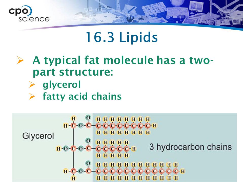 16.3 Lipids A typical fat molecule has a two- part structure: glycerol