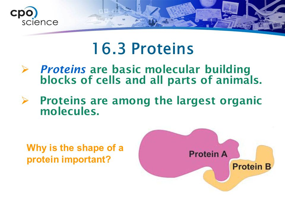16.3 Proteins Proteins are basic molecular building blocks of cells and all parts of animals. Proteins are among the largest organic molecules.