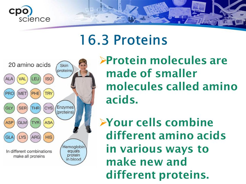 16.3 Proteins Protein molecules are made of smaller molecules called amino acids.
