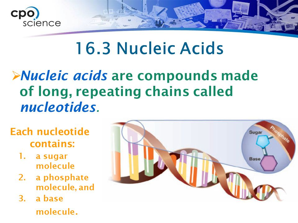 16.3 Nucleic Acids Nucleic acids are compounds made of long, repeating chains called nucleotides.
