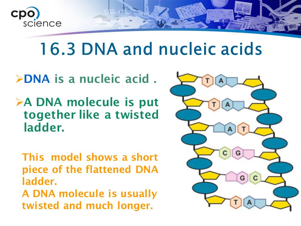 16.3 DNA and nucleic acids DNA is a nucleic acid .