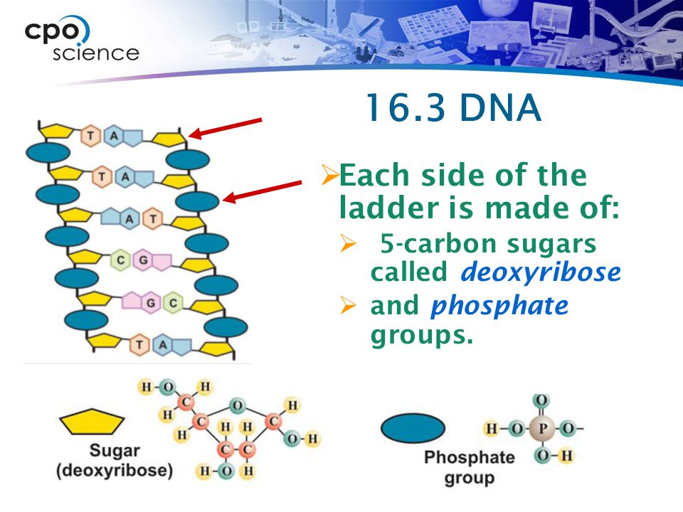 16.3 DNA Each side of the ladder is made of: