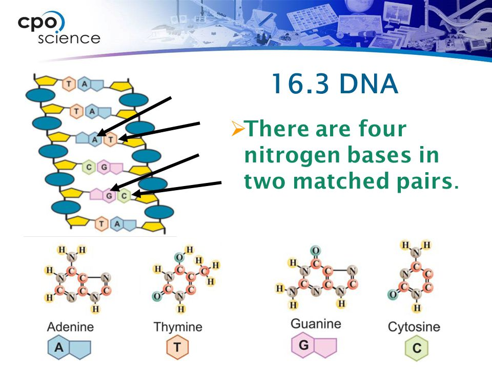 16.3 DNA There are four nitrogen bases in two matched pairs.