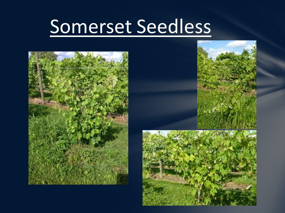 Somerset Seedless