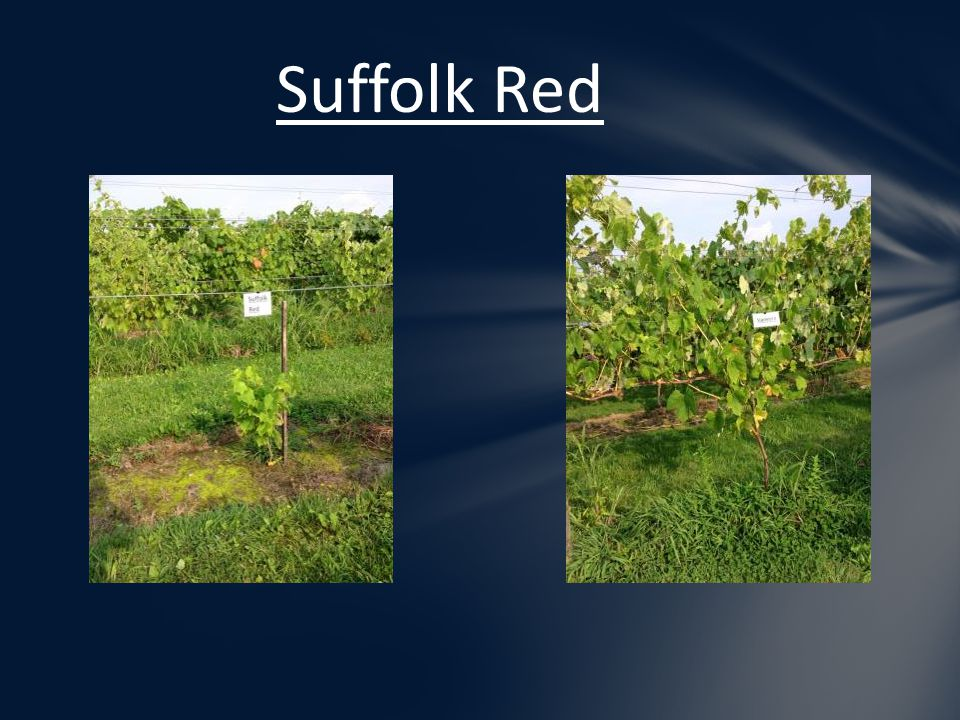 Suffolk Red