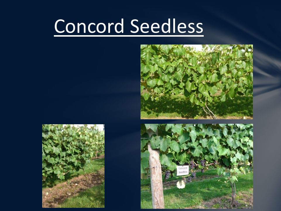 Concord Seedless