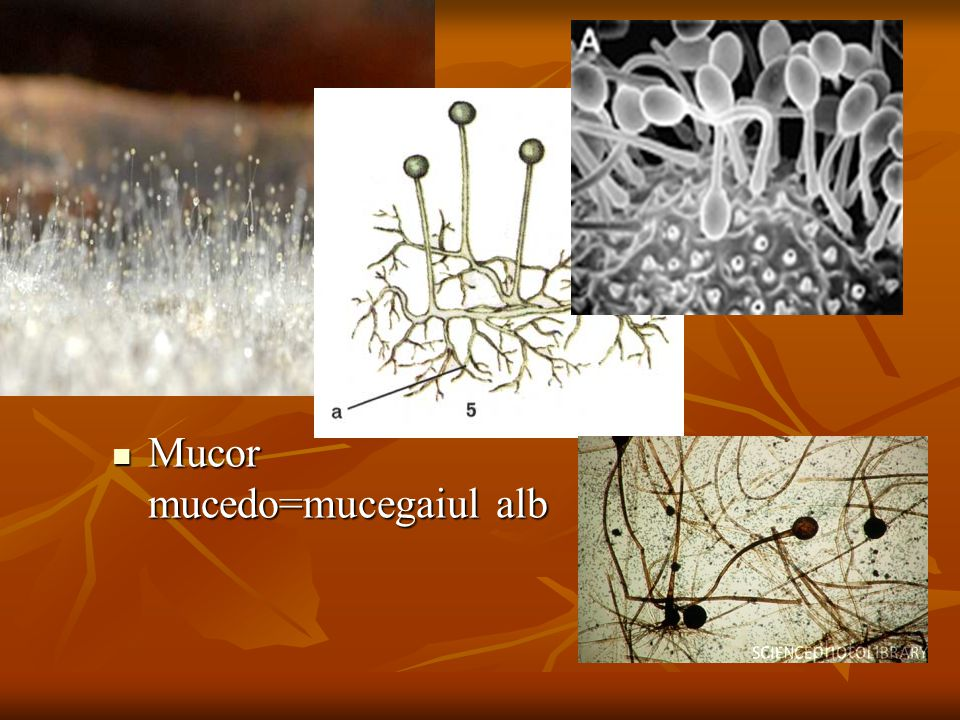 Mucor mucedo=mucegaiul alb