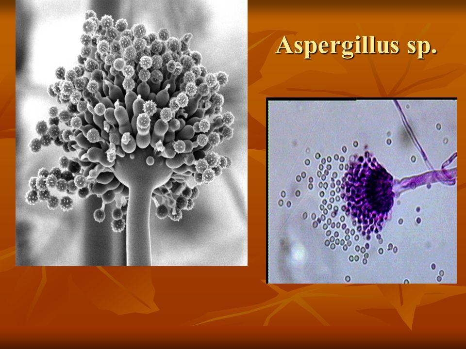 Aspergillus sp.