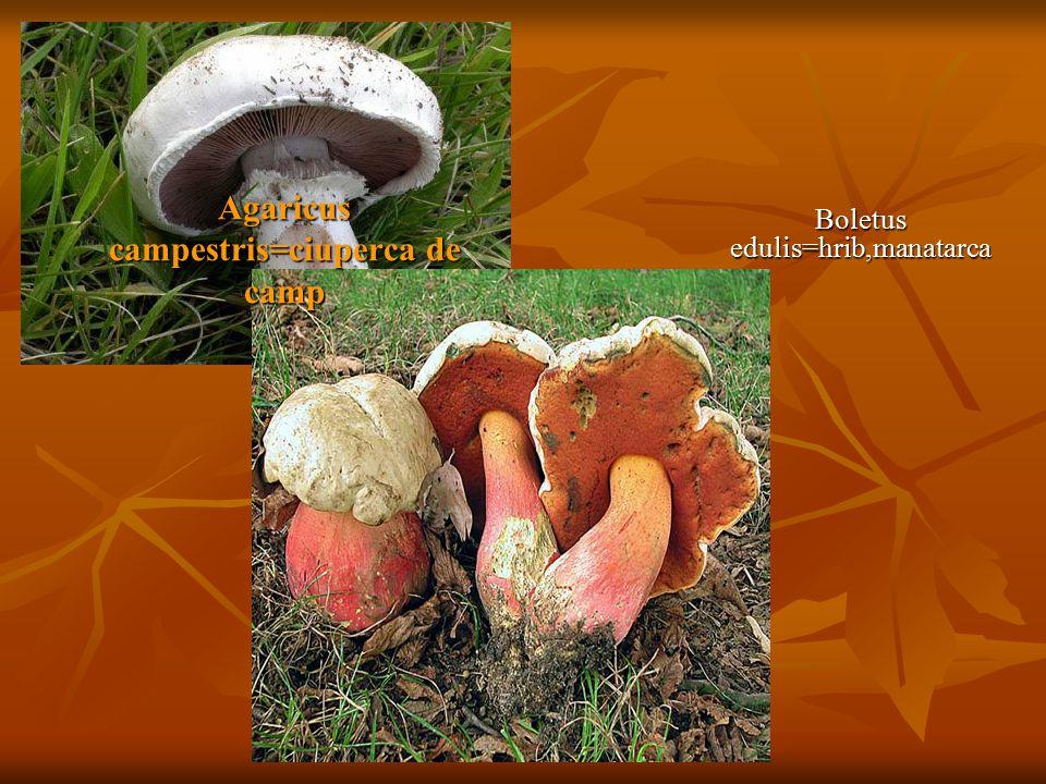 Agaricus campestris=ciuperca de camp