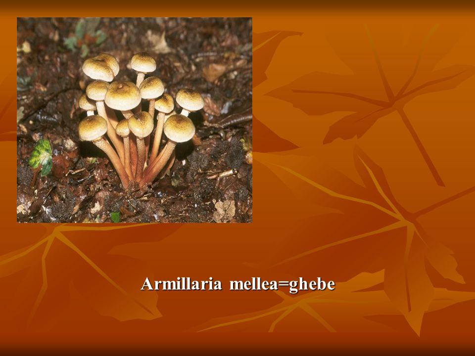 Armillaria mellea=ghebe