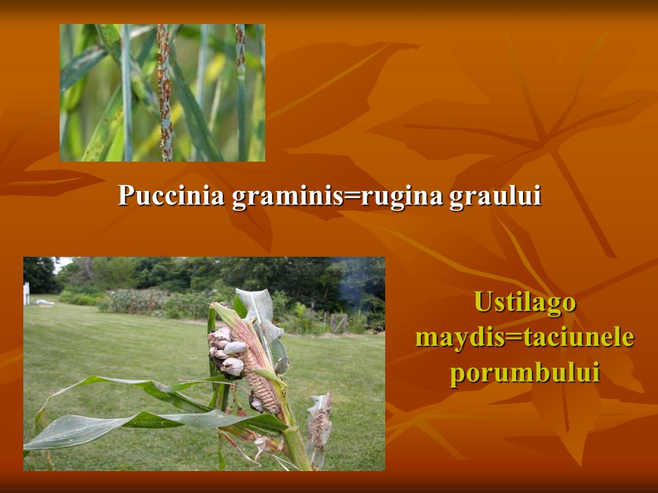 Puccinia graminis=rugina graului
