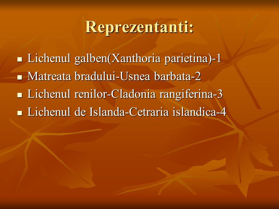 Reprezentanti: Lichenul galben(Xanthoria parietina)-1