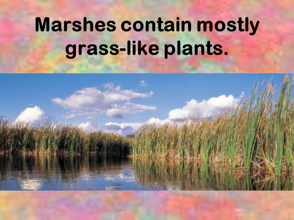 Marshes contain mostly grass-like plants.