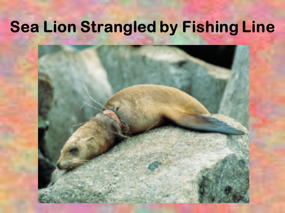 Sea Lion Strangled by Fishing Line