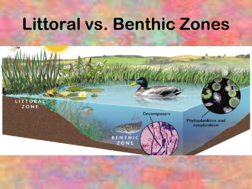 Littoral vs. Benthic Zones