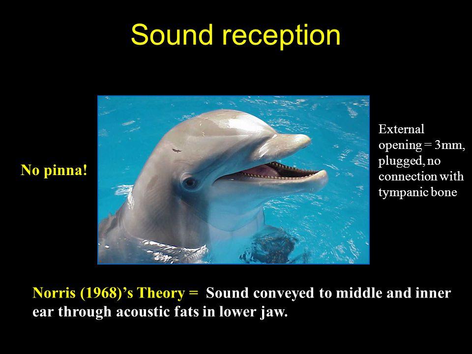 Sound reception No pinna!