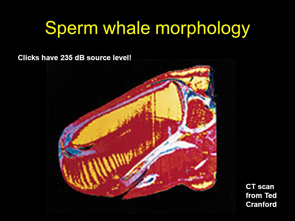 Sperm whale morphology