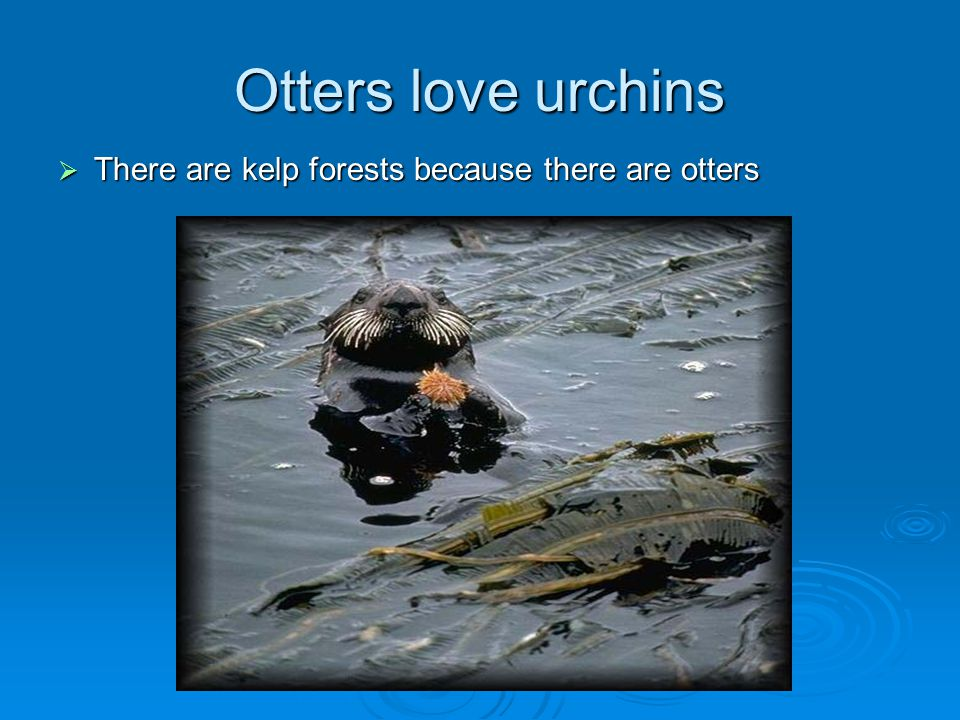 Otters love urchins There are kelp forests because there are otters