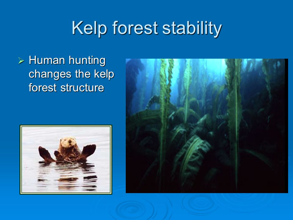 Kelp forest stability Human hunting changes the kelp forest structure