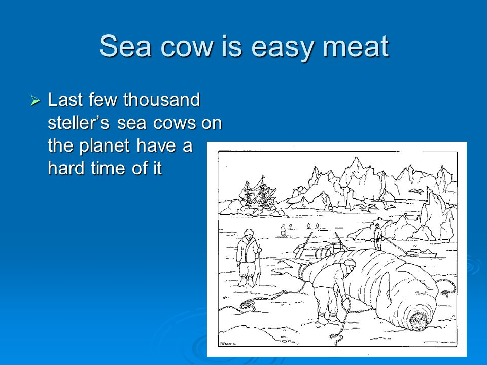 Sea cow is easy meat Last few thousand steller's sea cows on the planet have a hard time of it. Steller's sea cow is easier to kill than sea otter.