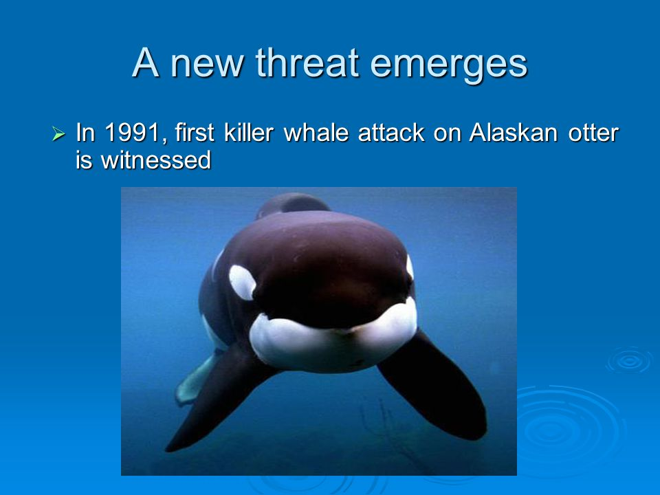 A new threat emerges In 1991, first killer whale attack on Alaskan otter is witnessed.