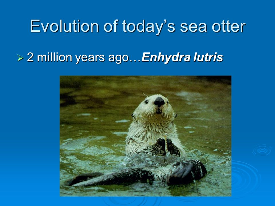 Evolution of today's sea otter