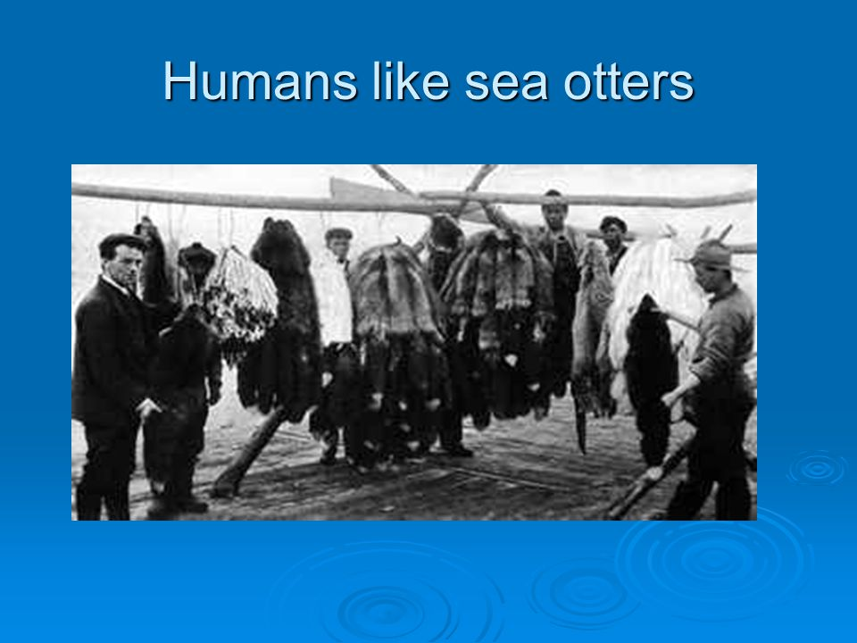 Humans like sea otters Only once otters were hunted to near extinction a hundred years ago did people began to care about the animal.