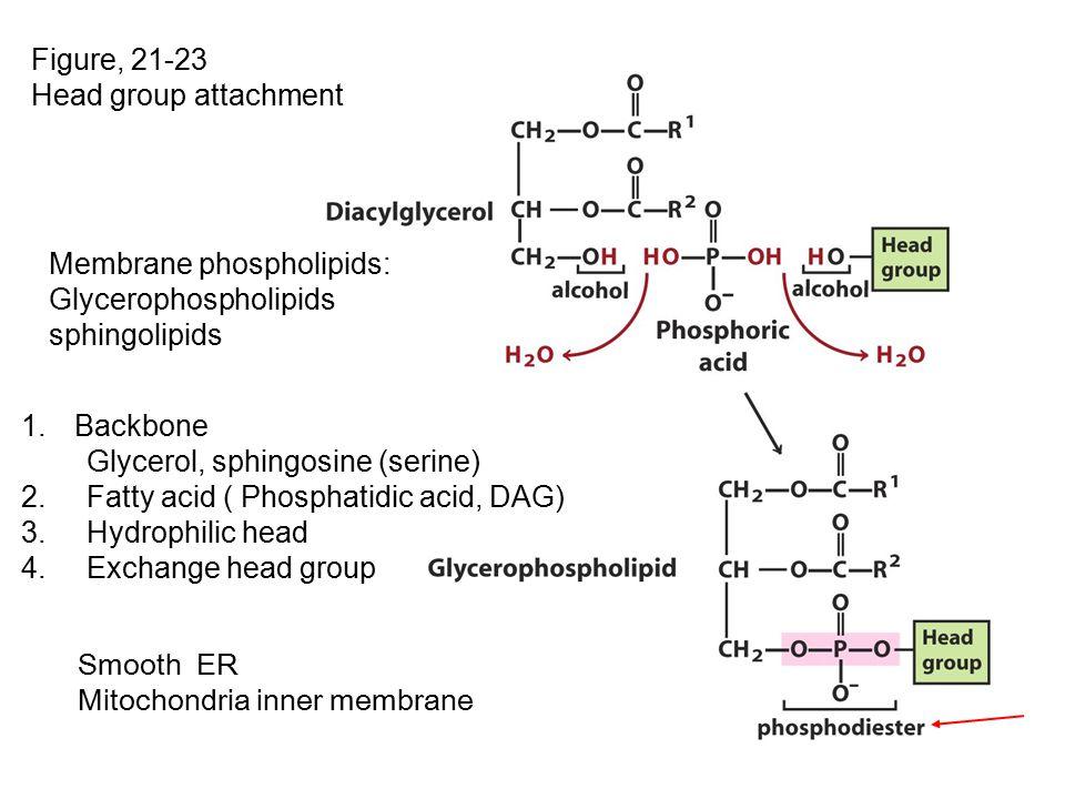 Figure, 21-23 Head group attachment. Membrane phospholipids: Glycerophospholipids. sphingolipids.
