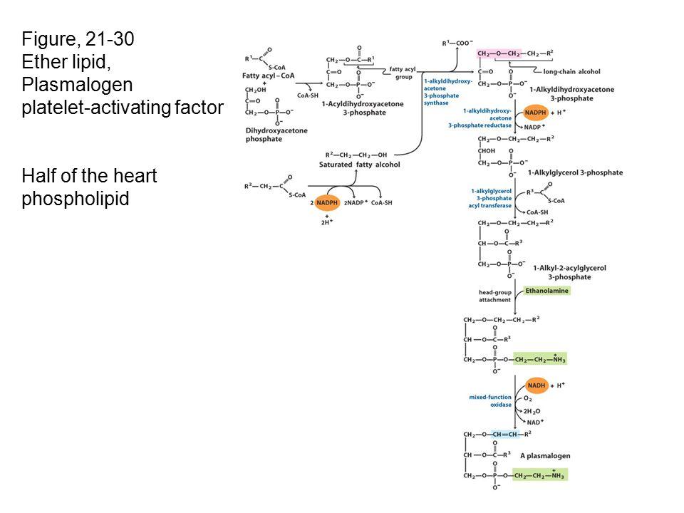 Figure, 21-30 Ether lipid, Plasmalogen platelet-activating factor Half of the heart phospholipid