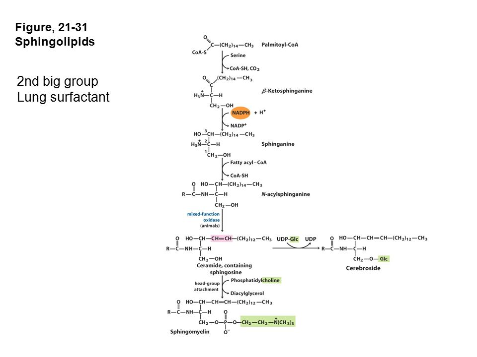 Figure, 21-31 Sphingolipids 2nd big group Lung surfactant