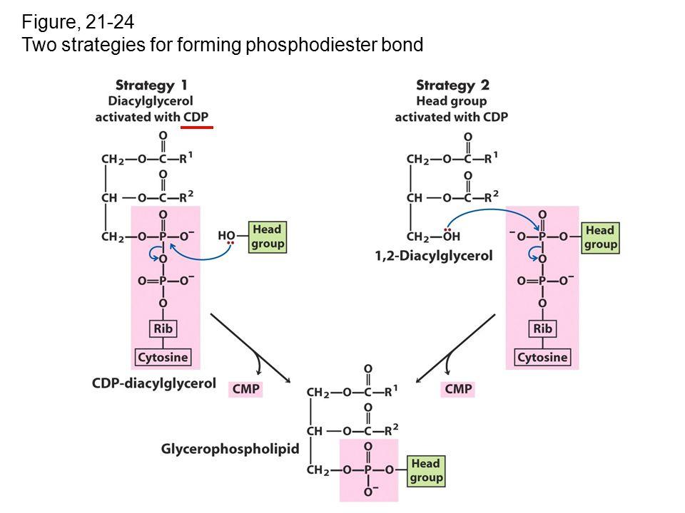 Figure, 21-24 Two strategies for forming phosphodiester bond