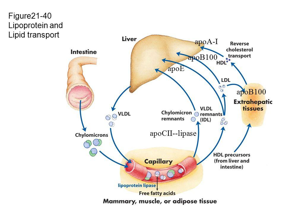Figure21-40 Lipoprotein and Lipid transport apoA-I apoB100 apoE apoB100 apoCII--lipase