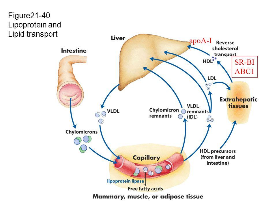 Figure21-40 Lipoprotein and Lipid transport apoA-I SR-BI ABC1