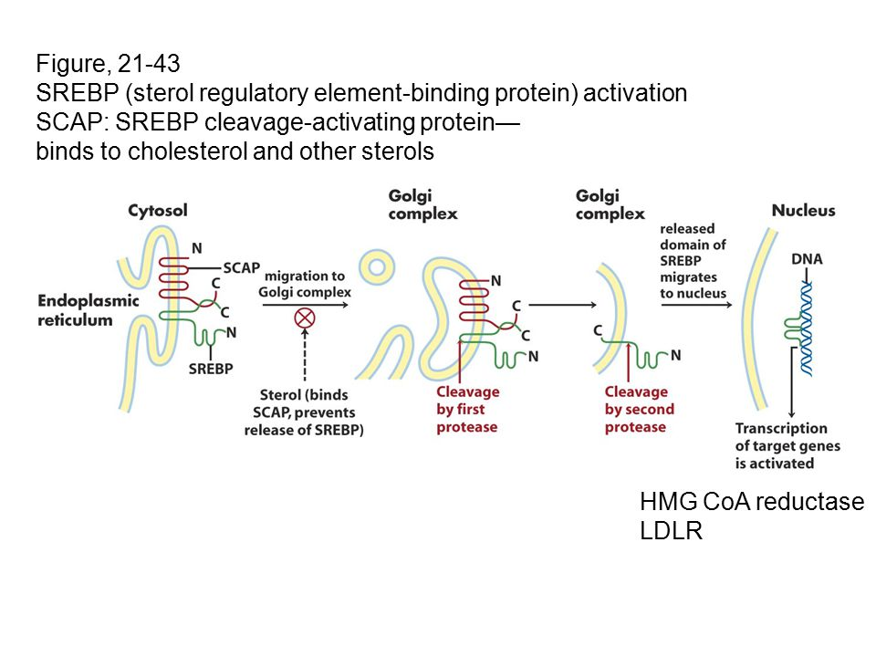 Figure, 21-43 SREBP (sterol regulatory element-binding protein) activation. SCAP: SREBP cleavage-activating protein—