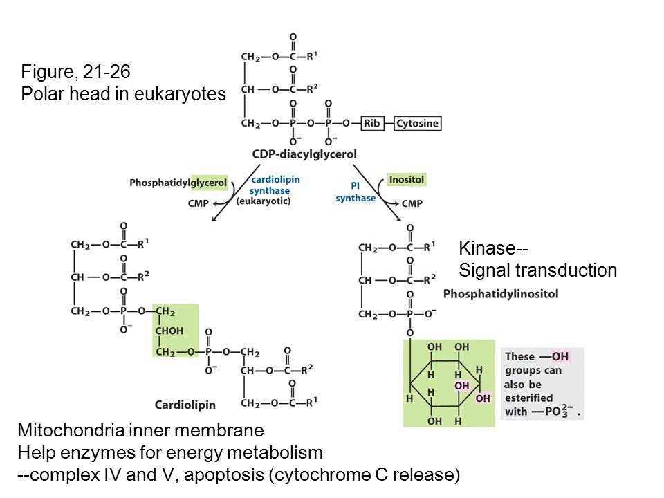 Figure, 21-26 Polar head in eukaryotes. Kinase-- Signal transduction. Mitochondria inner membrane.