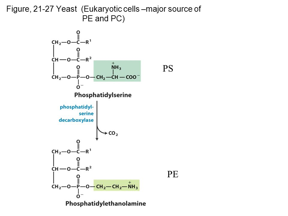 Figure, 21-27 Yeast (Eukaryotic cells –major source of PE and PC)