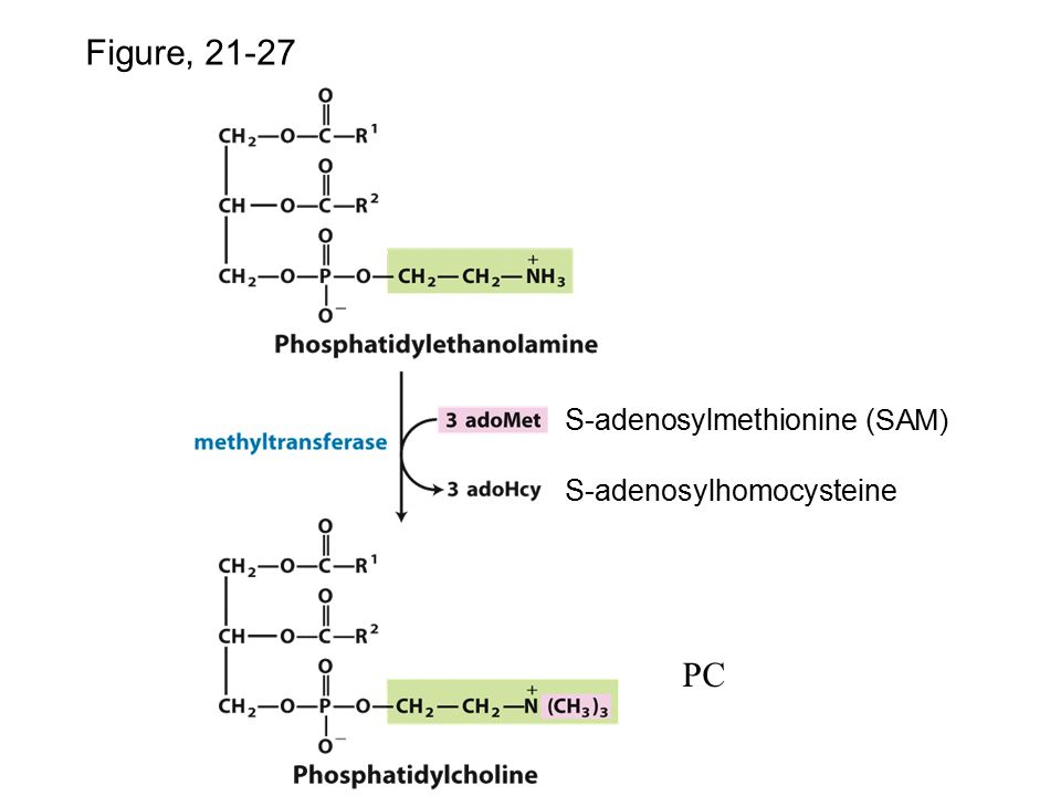 Figure, 21-27 PC p.828 S-adenosylmethionine (SAM)
