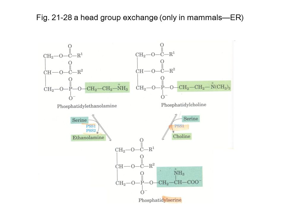 Fig. 21-28 a head group exchange (only in mammals—ER)