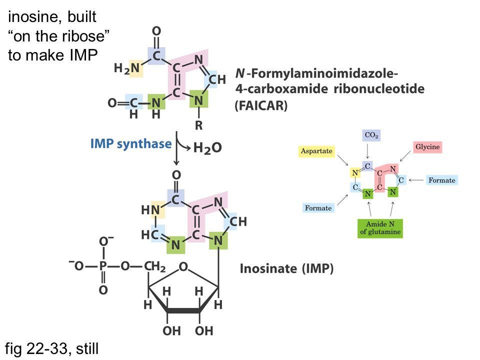 inosine, built on the ribose to make IMP fig 22-33, still