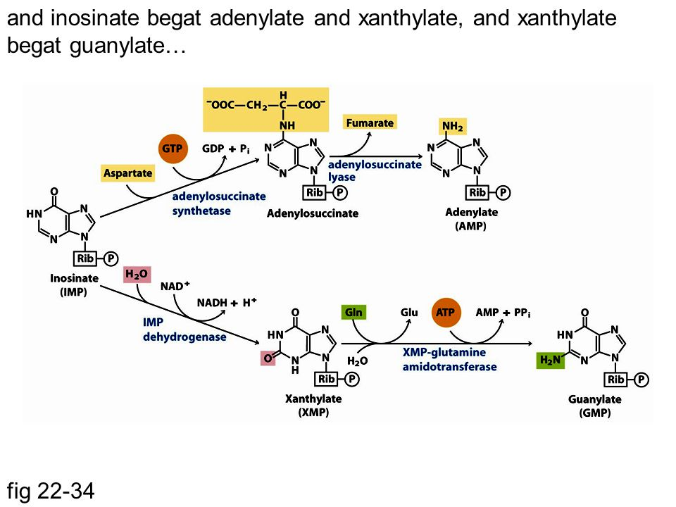 and inosinate begat adenylate and xanthylate, and xanthylate