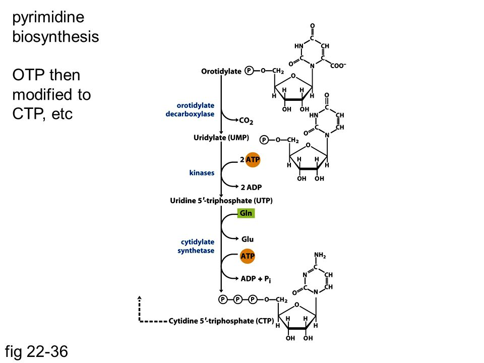 pyrimidine biosynthesis OTP then modified to CTP, etc fig 22-36