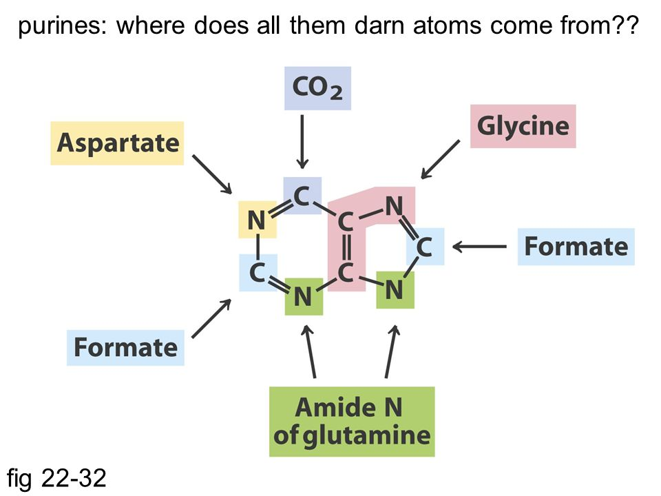 purines: where does all them darn atoms come from