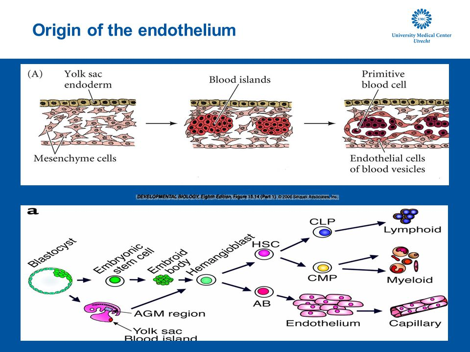 Origin of the endothelium