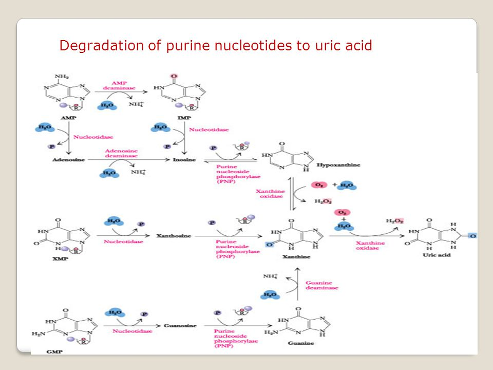 Degradation of purine nucleotides to uric acid