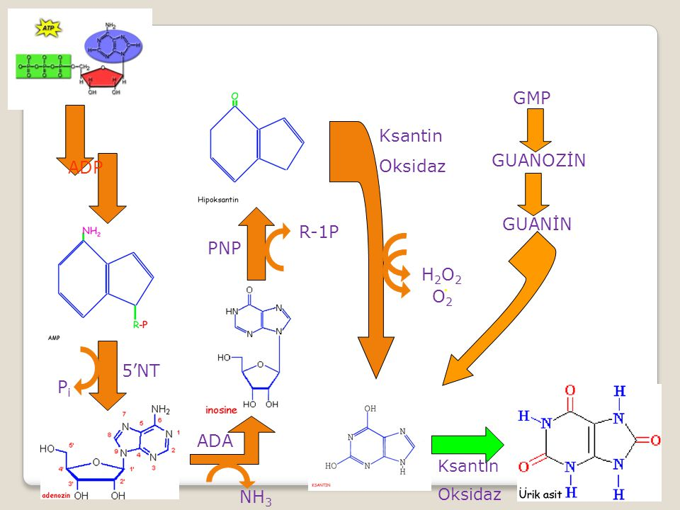 GMP Ksantin Oksidaz GUANOZİN ADP GUANİN R-1P PNP H2O2 . O2 5'NT Pi ADA